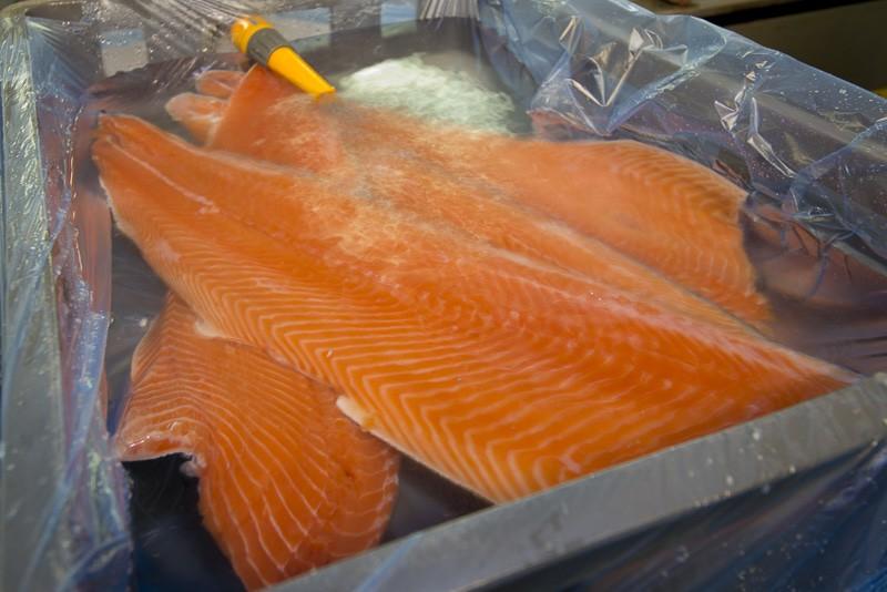 salmon in water
